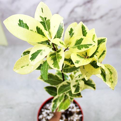 Buy Ficus Prestige Plant online Nursery Nisarga