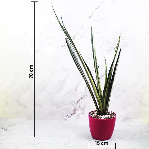 Buy SNAKE PLANT 'BENTEL SENSATION'' (SANSEVIERIA) - Nursery Nisarga