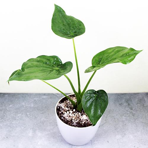 Buy Alocasia Cucullata (Hooded Dwarf Elephant Ear) Plant - Nursery Nisarga