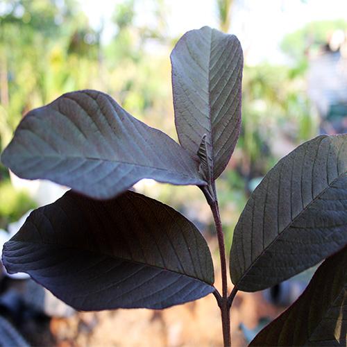 Buy Black Guava, Amrud Plant - Nursery Nisarga