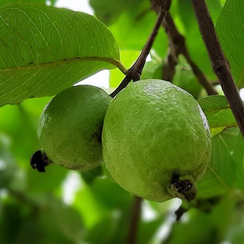 Buy L49 White Guava, Amrud Plant - Nursery Nisarga