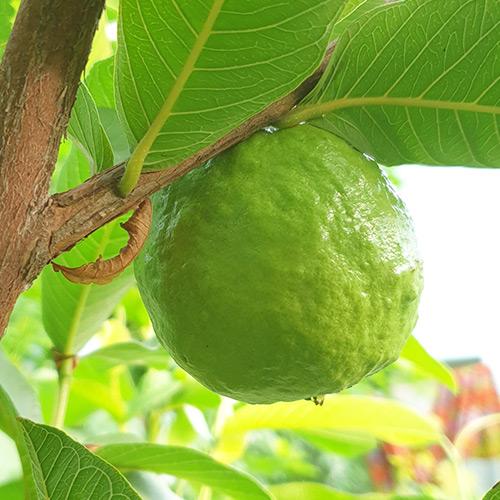 Buy Safeda Guava Plant - Nursery Nisarga