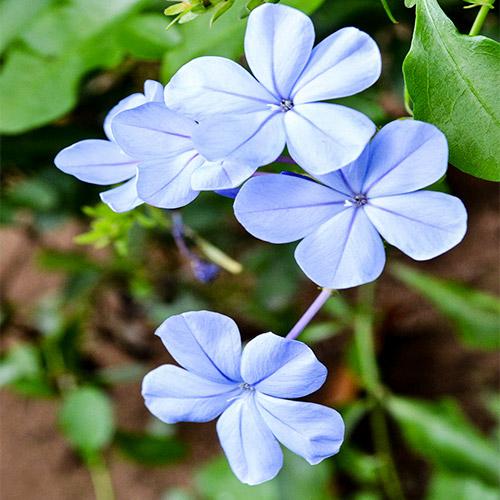 Buy Plumbago Auriculata plant online - Nursery Nisarga