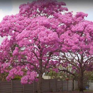 Buy Exotic Tabebuia Rosea, Pink poui trumpet tree - online at Nursery Nisarga