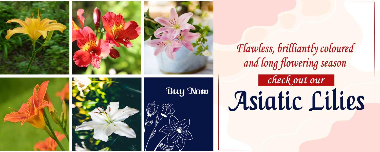 Buy Asiatic Lily, Lilium bulbs on sale at Nursery Nisarga