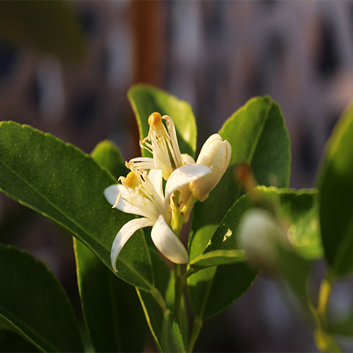 Buy Gondhoraj Lemon, Kaffir Lime (Big Nimbu) Plant - Nursery Nisarga