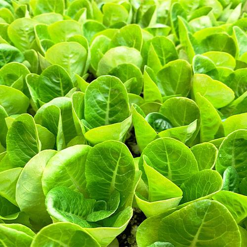 Buy Lettuce Seeds - Nursery Nisarga