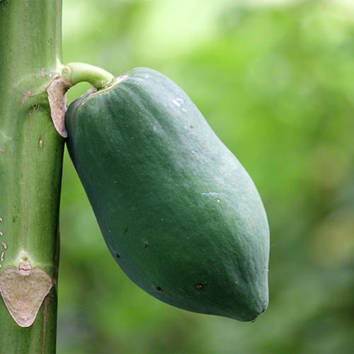 Buy Dwarf Papaya Plant - Nursery Nisarga