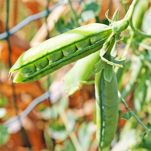 Buy Green Peas Seeds - Nursery Nisarga
