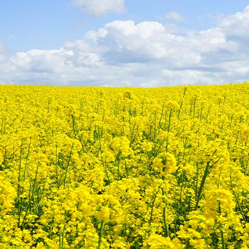 Buy Sarso, Mustard Seeds - Nursery Nisarga