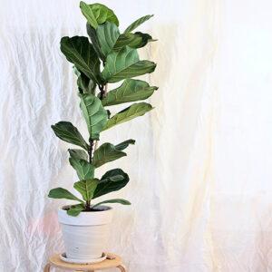 Buy Ficus Lyrata | Fiddle Leaf Fig (Big) Plant - Nursery Nisarga
