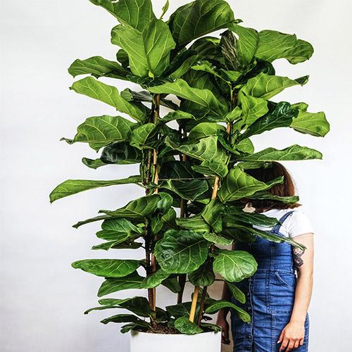 Buy Ficus Lyrata   Fiddle Leaf Fig (Big) Plant - Nursery Nisarga